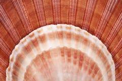 Το Backgroun των θαλασσινών κοχυλιών του μαλακίου, κλείνει επάνω Στοκ φωτογραφία με δικαίωμα ελεύθερης χρήσης
