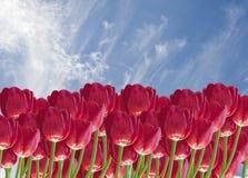 το beautifulimage ανθίζει την κόκκινη τ& Στοκ Εικόνες