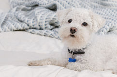 Το Bichon το σκυλί στοκ εικόνες με δικαίωμα ελεύθερης χρήσης