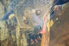 Το binturong (Arctictis binturong), γνωστός επίσης ως bearcat, είναι Στοκ εικόνες με δικαίωμα ελεύθερης χρήσης