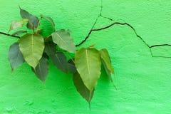 Το Bodhi ραγίζει τον τοίχο Στοκ Φωτογραφία