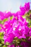 Το bougainvillea ανθίζει, ρόδινα λουλούδια στο πάρκο Στοκ Εικόνες