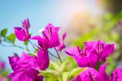 Το bougainvillea ανθίζει, ρόδινα λουλούδια στο πάρκο Στοκ Φωτογραφία