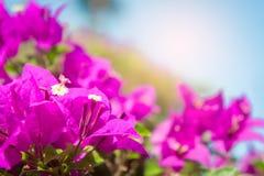Το bougainvillea ανθίζει, ρόδινα λουλούδια στο πάρκο Στοκ Φωτογραφίες