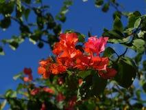 το bougainvillea ανθίζει το κόκκινο Στοκ Εικόνες