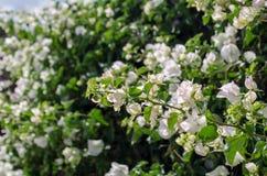 Το Bougainvillea είναι ένας σγουρός θάμνος που χρησιμοποιείται συνήθως για να διακοσμήσει flowerbeds Στοκ Εικόνες