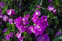 Το Bougainvillea είναι ένας σγουρός θάμνος που χρησιμοποιείται συνήθως για να διακοσμήσει flowerbeds Στοκ φωτογραφίες με δικαίωμα ελεύθερης χρήσης