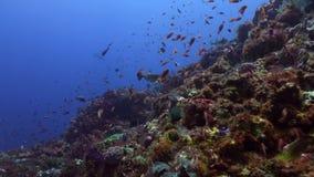 Το Boxfish κολυμπά στο σχολείο σκοπέλων των ψαριών απόθεμα βίντεο