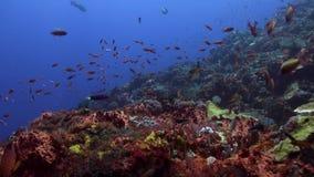 Το Boxfish κολυμπά στο σχολείο σκοπέλων των ψαριών φιλμ μικρού μήκους