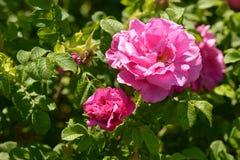 Το Briar Rosa αυξήθηκε λουλούδια φυτεύει την ηλιόλουστη ημέρα με θάμνους Στοκ Εικόνα