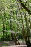 Το brumata Operophtera καμπιών χειμερινών σκώρων είναι νήματα μεταξιού looper κάμπιες και περιστροφή πέρα από το δάσος, που κατασ στοκ φωτογραφία με δικαίωμα ελεύθερης χρήσης
