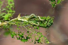 Το brumata Operophtera καμπιών χειμερινών σκώρων είναι νήματα μεταξιού looper κάμπιες και περιστροφή πέρα από το δάσος, που κατασ στοκ εικόνα με δικαίωμα ελεύθερης χρήσης