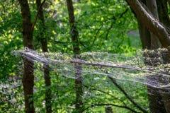 Το brumata Operophtera καμπιών χειμερινών σκώρων είναι νήματα μεταξιού looper κάμπιες και περιστροφή πέρα από το δάσος, που κατασ στοκ φωτογραφίες