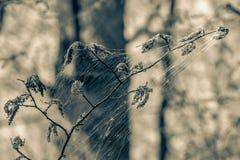 Το brumata Operophtera καμπιών χειμερινών σκώρων είναι νήματα μεταξιού looper κάμπιες και περιστροφή πέρα από το δάσος, που κατασ στοκ φωτογραφίες με δικαίωμα ελεύθερης χρήσης