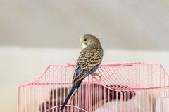 Το Budgie κάθεται σε ένα ρόδινο κλουβί Στοκ Εικόνες