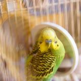 Το Budgie σε ένα κλουβί καθαρίζει τα φτερά κοντά στον καθρέφτη Στοκ Εικόνες
