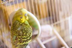 Το Budgie σε ένα κλουβί καθαρίζει τα φτερά κοντά στον καθρέφτη Στοκ εικόνα με δικαίωμα ελεύθερης χρήσης