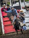 Το Bull δίνει στη γυναίκα έναν άγριο γύρο Στοκ φωτογραφία με δικαίωμα ελεύθερης χρήσης