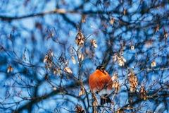 Το Bullfinch τρώει τους σπόρους από ένα δέντρο στους κλάδους Στοκ Εικόνες
