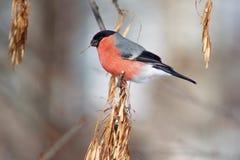 Το Bullfinch τρώει τους σπόρους ενός δέντρου Στοκ Εικόνες