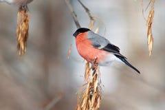 Το Bullfinch τρώει τους σπόρους ενός δέντρου Στοκ Φωτογραφίες