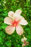 Το Bunga Raya, κινεζικά αυξήθηκε στοκ εικόνα