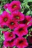 Το Calibrachoa «Noa αυξήθηκε» Στοκ Εικόνες