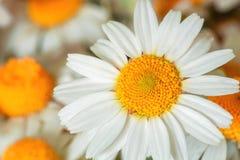 Το camomile λουλούδι Στοκ φωτογραφία με δικαίωμα ελεύθερης χρήσης