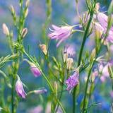 το campanula ανθίζει λίγα πορφυρά Δασικά μπλε λουλούδια κουδουνιών Bluebell ή λουλούδι Campanula Στοκ Εικόνα