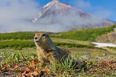 Το camtschatica Groundhog Marmota κοίταξε από τη Νόρα για να κοιτάξει γύρω wildlife στοκ εικόνα