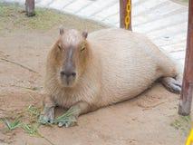 Το capybara στοκ εικόνα
