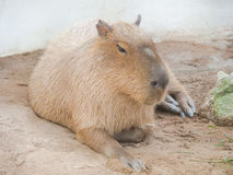 Το capybara στοκ εικόνες