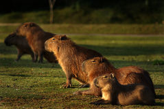 Το Capybaras Capivara Στοκ Φωτογραφία