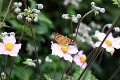 Το cardui της Vanessa είναι μεγάλες πεταλούδες Στοκ Φωτογραφία