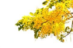 Το cassia λουλούδι Στοκ εικόνα με δικαίωμα ελεύθερης χρήσης