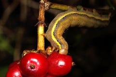 Το Caterpillar τρώει το κόκκινο μούρο Στοκ φωτογραφία με δικαίωμα ελεύθερης χρήσης