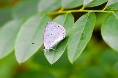 Το Celastrina Argiolus κάλεσε επίσης το μπλε της Holly Στοκ φωτογραφία με δικαίωμα ελεύθερης χρήσης