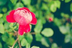 Το Centifolia κόκκινο αυξήθηκε με το φύλλωμα Φυσικό λουλούδι στρέψτε μαλακό διάστημα αντιγράφων ελεύθερη θέση για το κείμενο Ένα  Στοκ Φωτογραφία