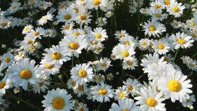 το chamomile πεδίο μαργαριτών εβλάστησε τα κάθετα wildflowers