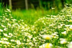 το chamomile πεδίο μαργαριτών εβλάστησε τα κάθετα wildflowers στοκ εικόνες