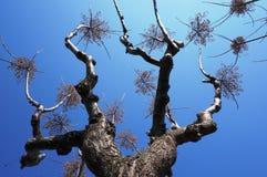 Το cheerleading δέντρο Στοκ Φωτογραφίες
