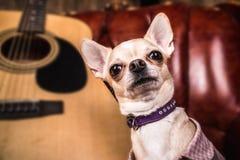 Το Chihuahua εξετάζει το πλαίσιο δίπλα στην κιθάρα στοκ εικόνα με δικαίωμα ελεύθερης χρήσης