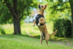 Το Chihuahua στέκεται στα οπίσθια πόδια του στοκ φωτογραφίες