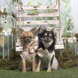Το Chihuahuas με η συνεδρίαση σακακιών Στοκ Εικόνες