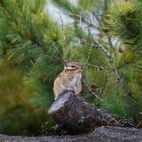 Το Chipmunk κάθεται σε ένα κολόβωμα Στοκ φωτογραφία με δικαίωμα ελεύθερης χρήσης