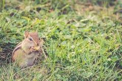 Το Chipmunk κρατά το μεγάλο καρύδι στο στόμα Στοκ Εικόνες