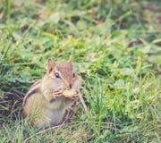 Το Chipmunk τρώει το μεγάλο καρύδι, κινηματογράφηση σε πρώτο πλάνο Στοκ Φωτογραφίες