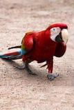 Το chloroptera Ara κόκκινος-και-μπλε macaw εύκολο πηγαίνει στο αμμώδες χώμα Στοκ εικόνες με δικαίωμα ελεύθερης χρήσης