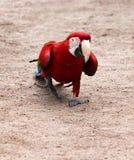 Το chloroptera Ara κόκκινος-και-μπλε macaw εύκολο πηγαίνει στο αμμώδες χώμα Στοκ φωτογραφία με δικαίωμα ελεύθερης χρήσης