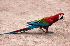 Το chloroptera Ara κόκκινος-και-μπλε macaw εύκολο πηγαίνει στο αμμώδες χώμα Στοκ Εικόνες